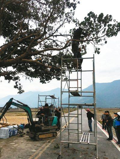 台東池上金城武樹出現枯萎,請來日本樹醫師看診。 圖/台東縣政府提供