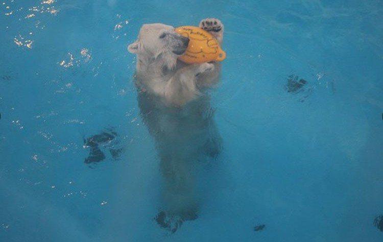 Maruru向牆壁丟球後,跳下水裡把球撿回來。圖/擷自朝日新聞中文網