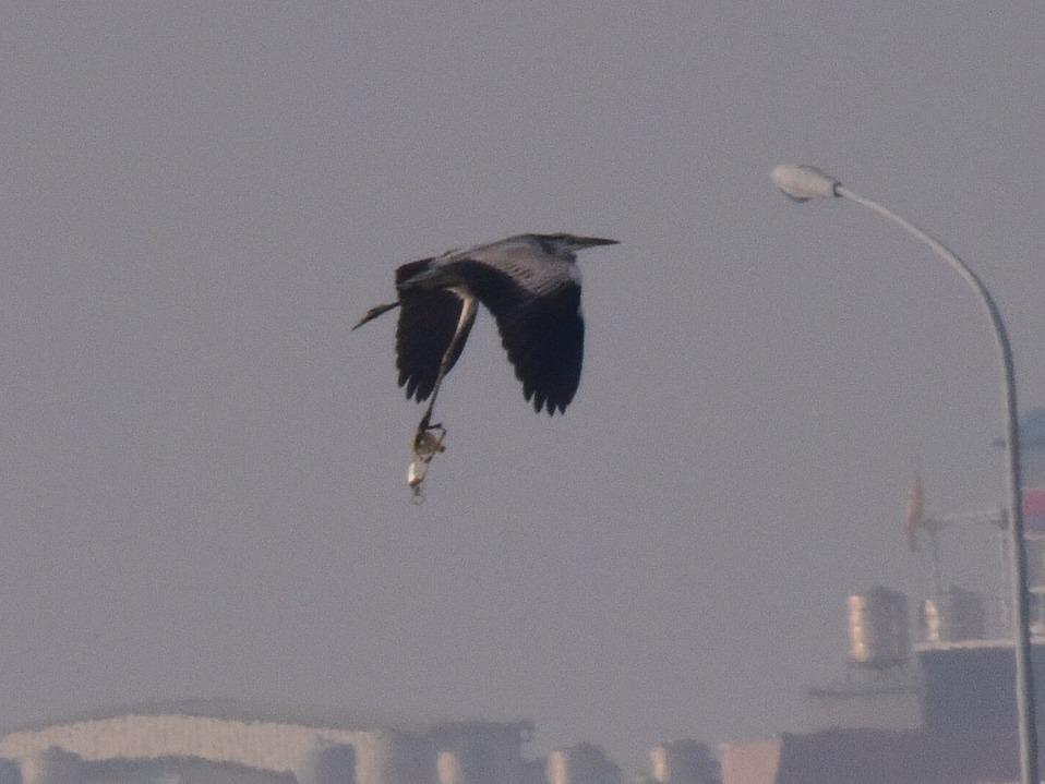 鳥友陳美慧昨在茄萣槍樓看見一群蒼鷺在空中飛翔,其中一隻飛行樣子很奇怪,就將牠拍下...