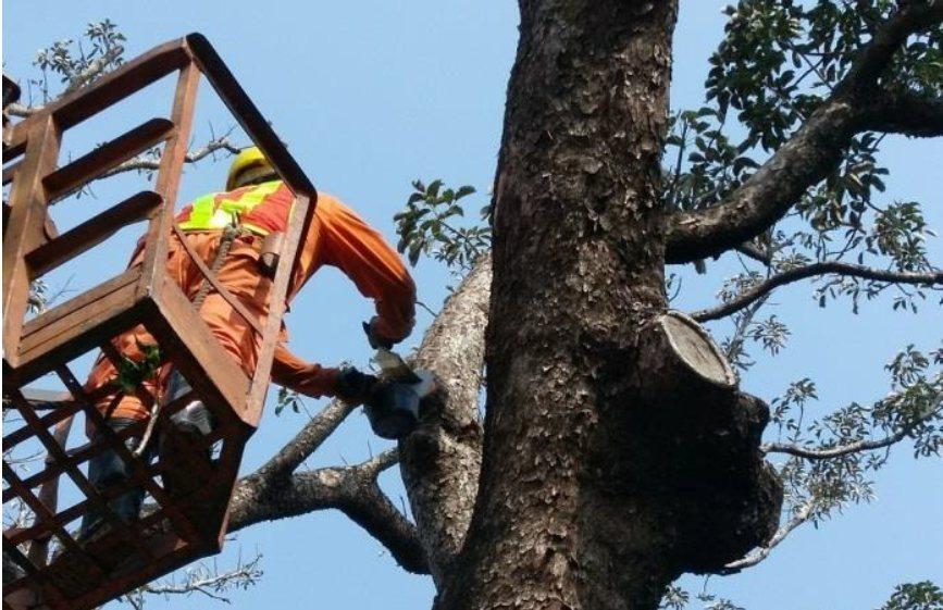 高雄市養工處保護珍貴老樹,委託具修剪的專業證照廠商移除腐朽枝條。圖/高雄市養工處...