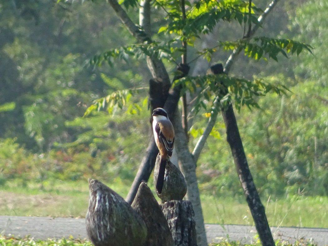 新年數鳥活動已邁入第5年,屏東林後四林平地森林已記錄到廿多種鳥類,圖為棕背伯勞鳥...
