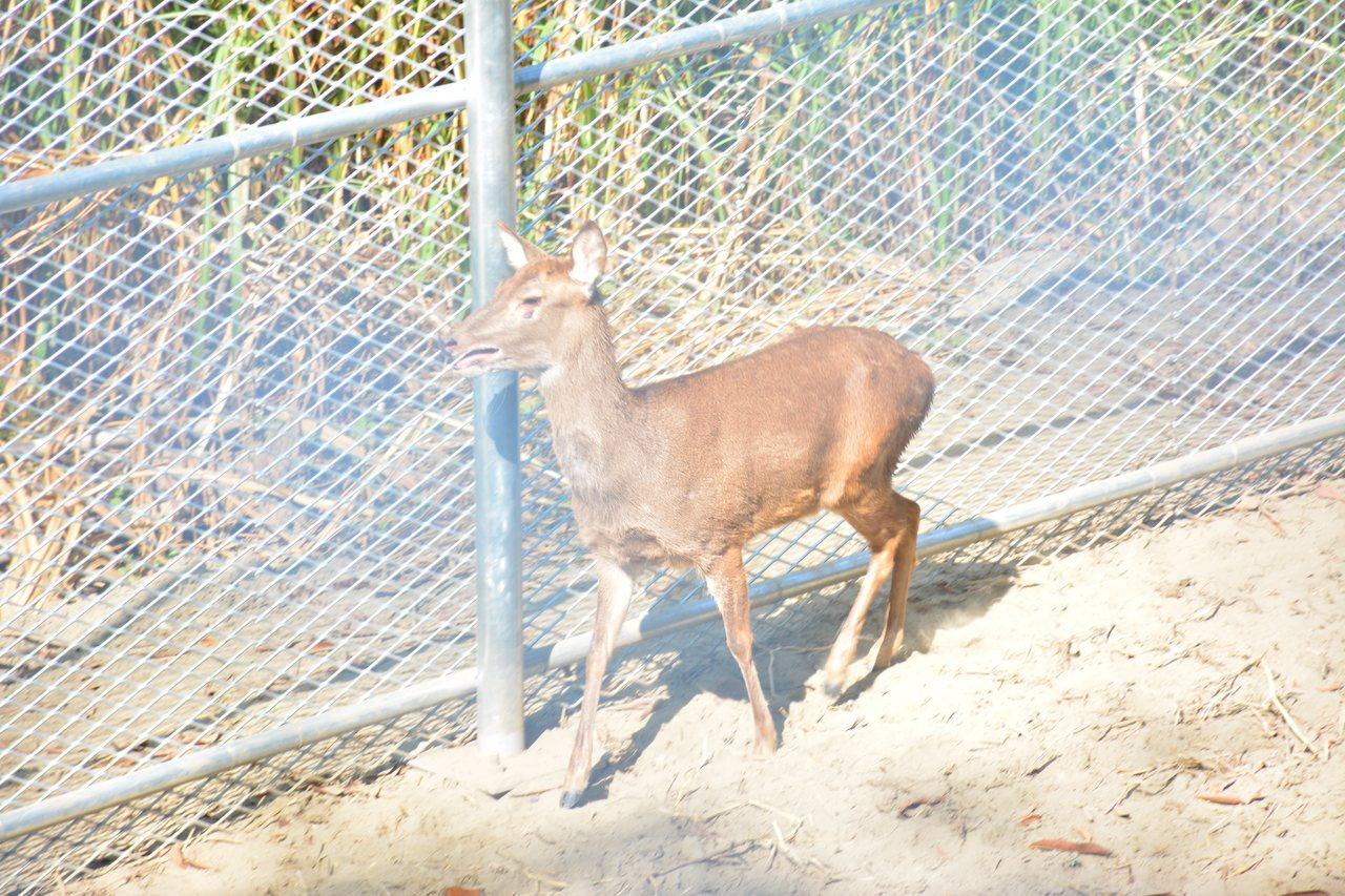 鹿兒島生態露營區飼養水鹿等親人的小動物。記者吳淑玲/攝影