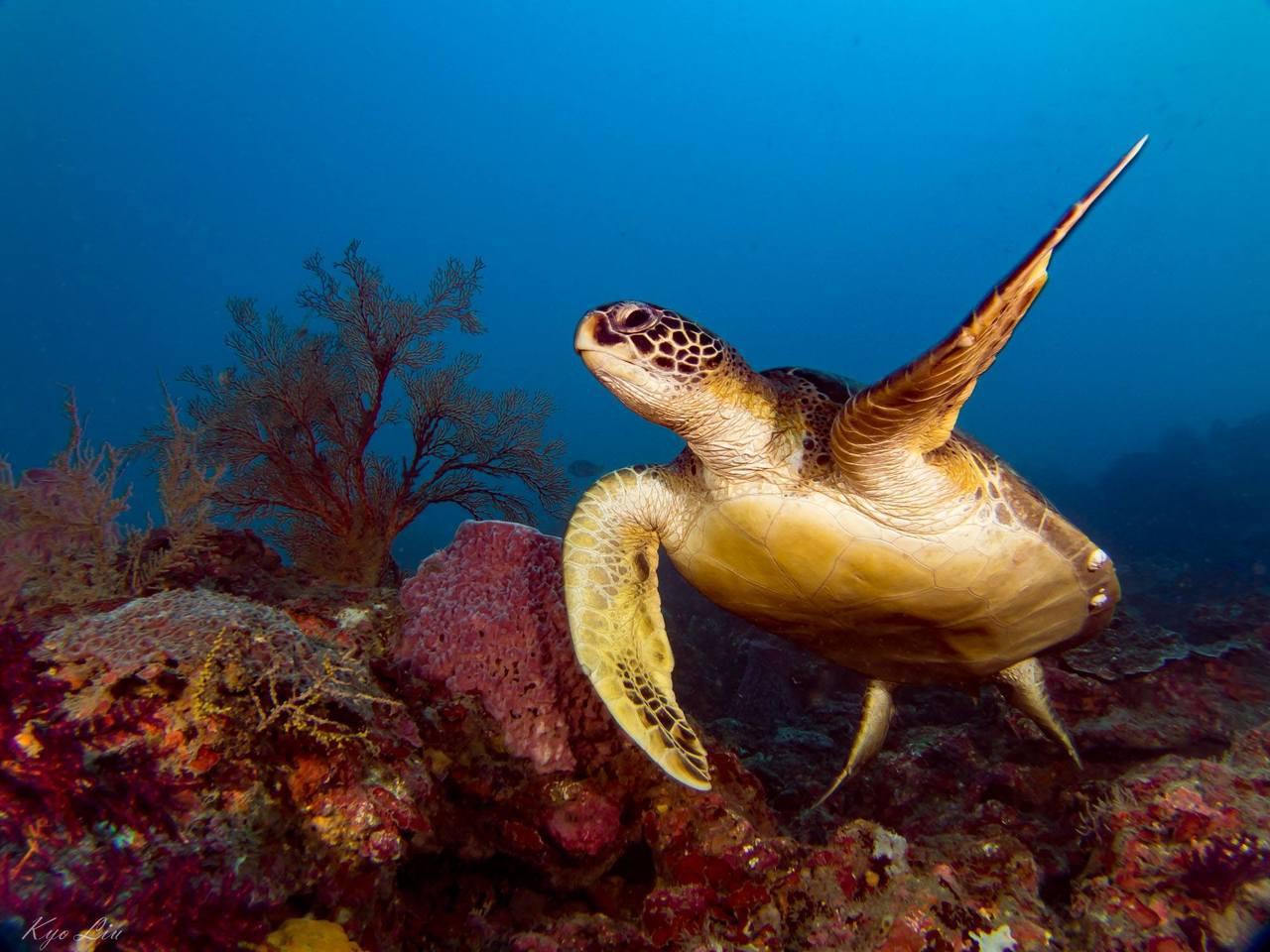 潛友京太郎說,一年前的今天,他在潮境海洋保育區潛水,他遇見了玳瑁,這是他第一次在...