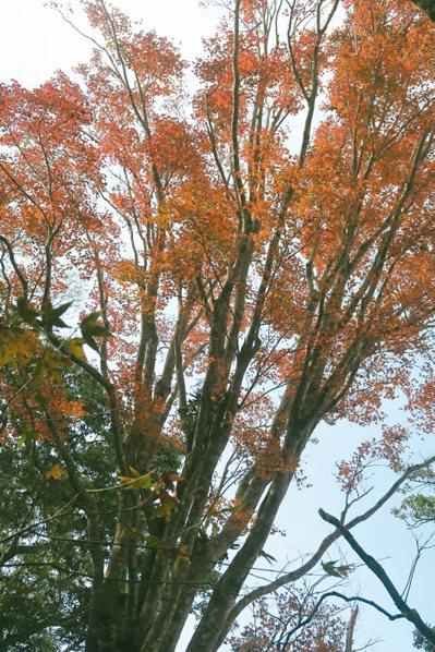 苗栗縣大湖鄉馬那邦山一樹色澤鮮艷的楓葉,讓人驚艷。 記者范榮達/攝影