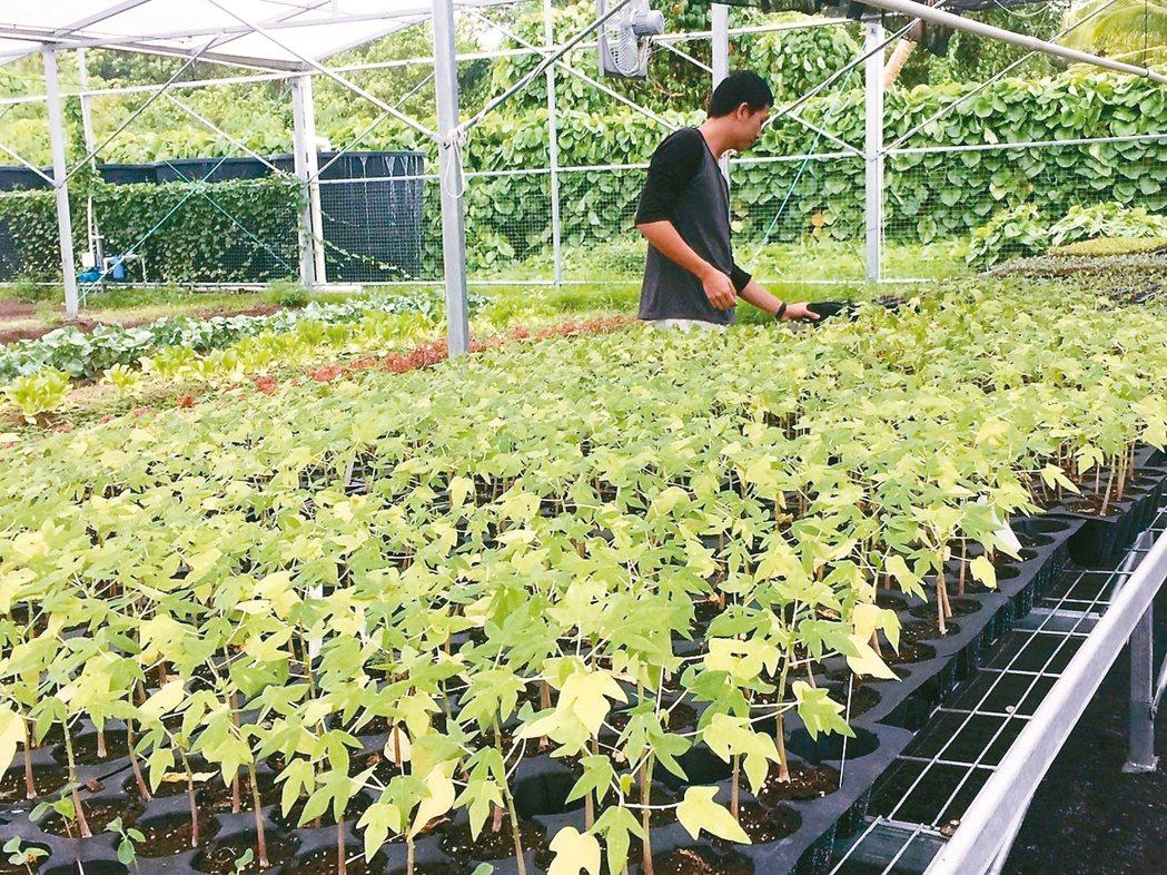 台灣農技團協助馬紹爾當地栽種新鮮蔬果,但礙於土地貧瘠,種植種類不多。 記者陳雨鑫...