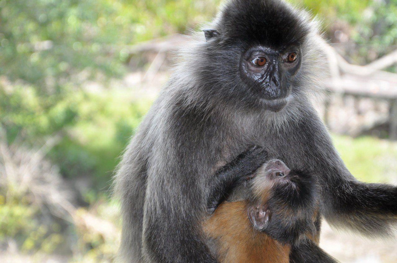 ▲銀葉猴。(圖/攝影者:shankar s., Flickr CC Licens...
