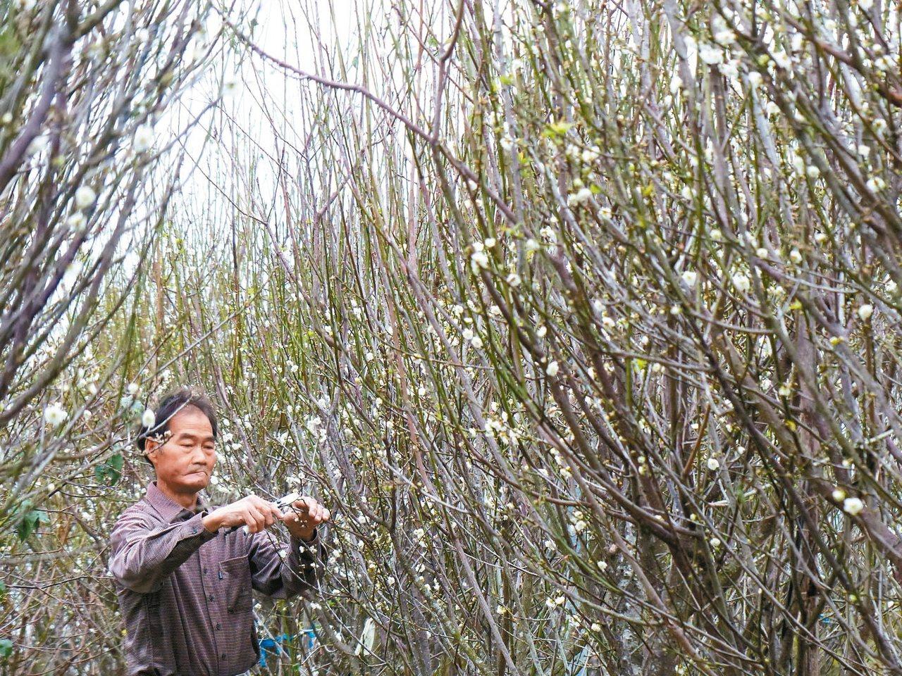 芬園花卉生產遊憩園區鴛鴦梅盛開,美不勝收。 記者劉明岩/攝影