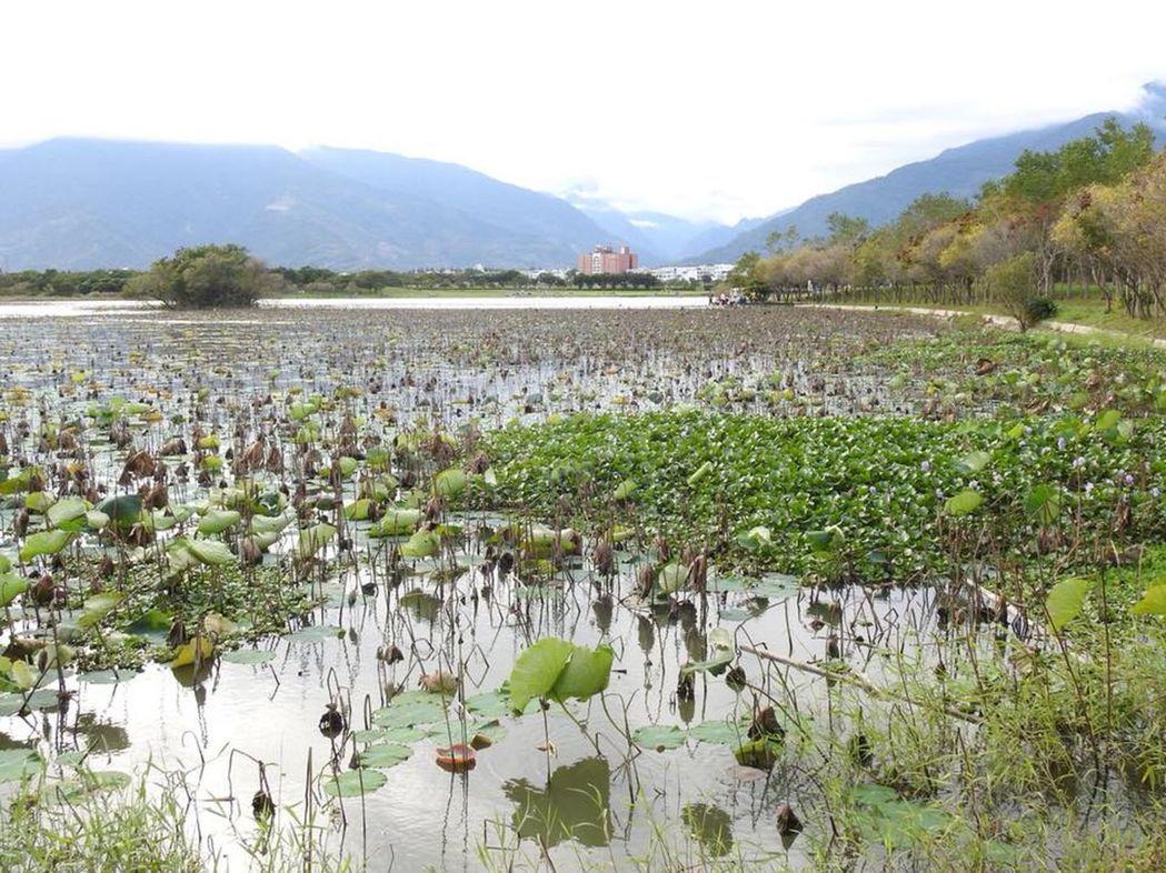 台東池上的大波池,已被密布的荷花占據。 圖/林昆海提供