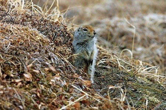 北極地松鼠進入冬眠狀態後,體溫會降至攝氏零度以下 (照片/美國國家地理會社提供)