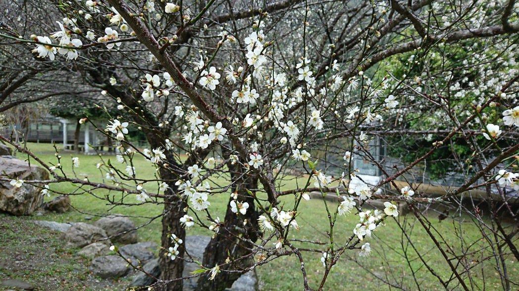 天祥「梅園」的梅花美不勝收,不因下雨落花。圖/賴姓民眾提供