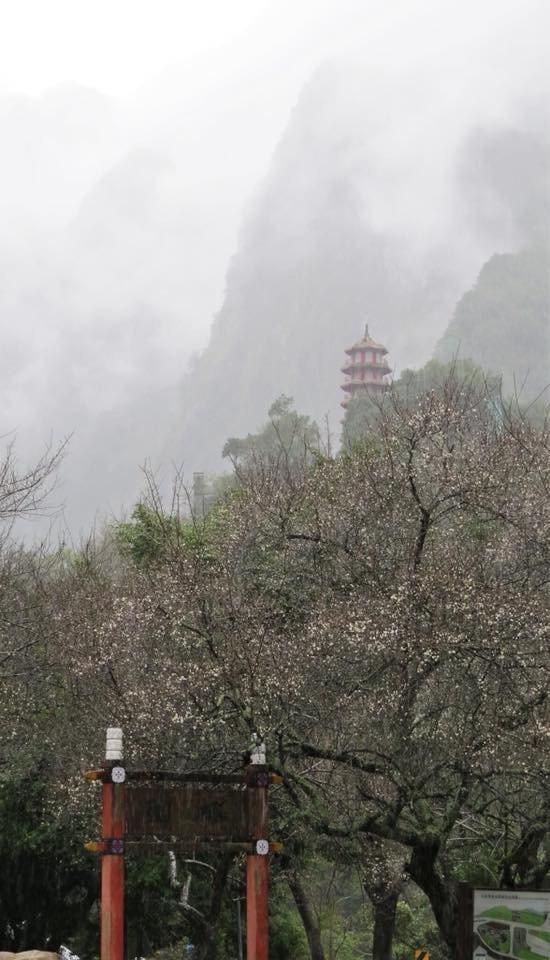 太魯閣天祥的梅花盛開,花期至1月底。圖/太魯閣國家公園管理處提供