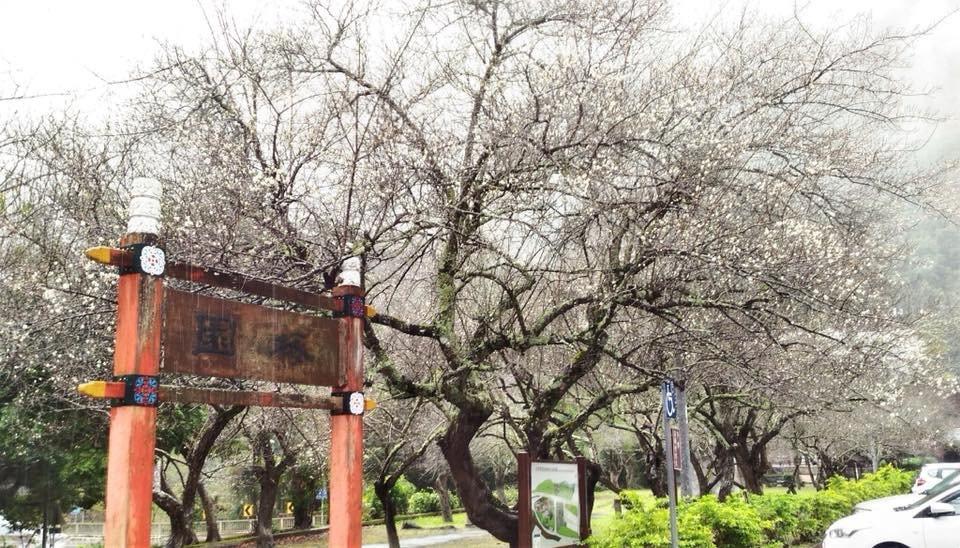 太魯閣天祥「梅園」梅花綻放,美不勝收。圖/太魯閣國家公園管理處提供