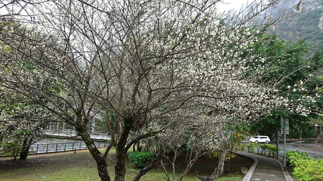 太魯閣天祥的梅花綻放中。圖/賴姓民眾提供