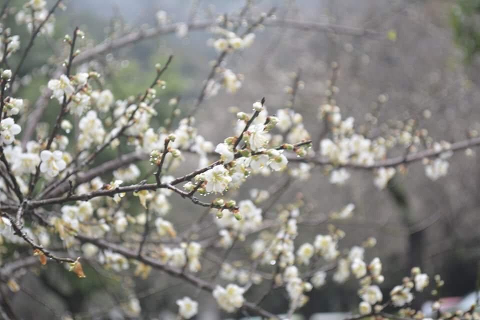 太魯閣天祥的梅花盛開,上山賞花的民眾把握時間。圖/賴姓民眾提供