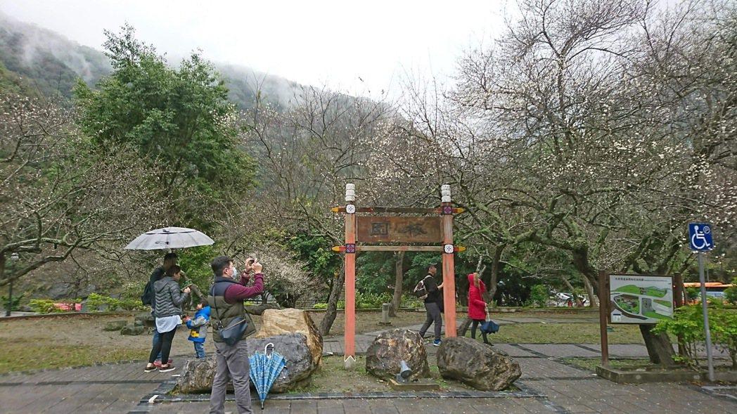 太魯閣天祥「梅園」梅花綻放,遊客開心漫步在梅花步道。圖/賴姓民眾提供