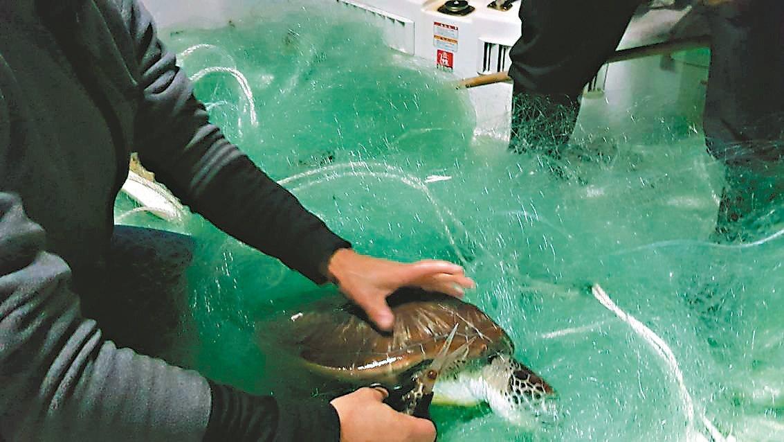 基隆市府海洋事務科長蔡馥嚀等人搭船摸黑去收網子,發現1隻海龜掛網,但晚了一步已死...