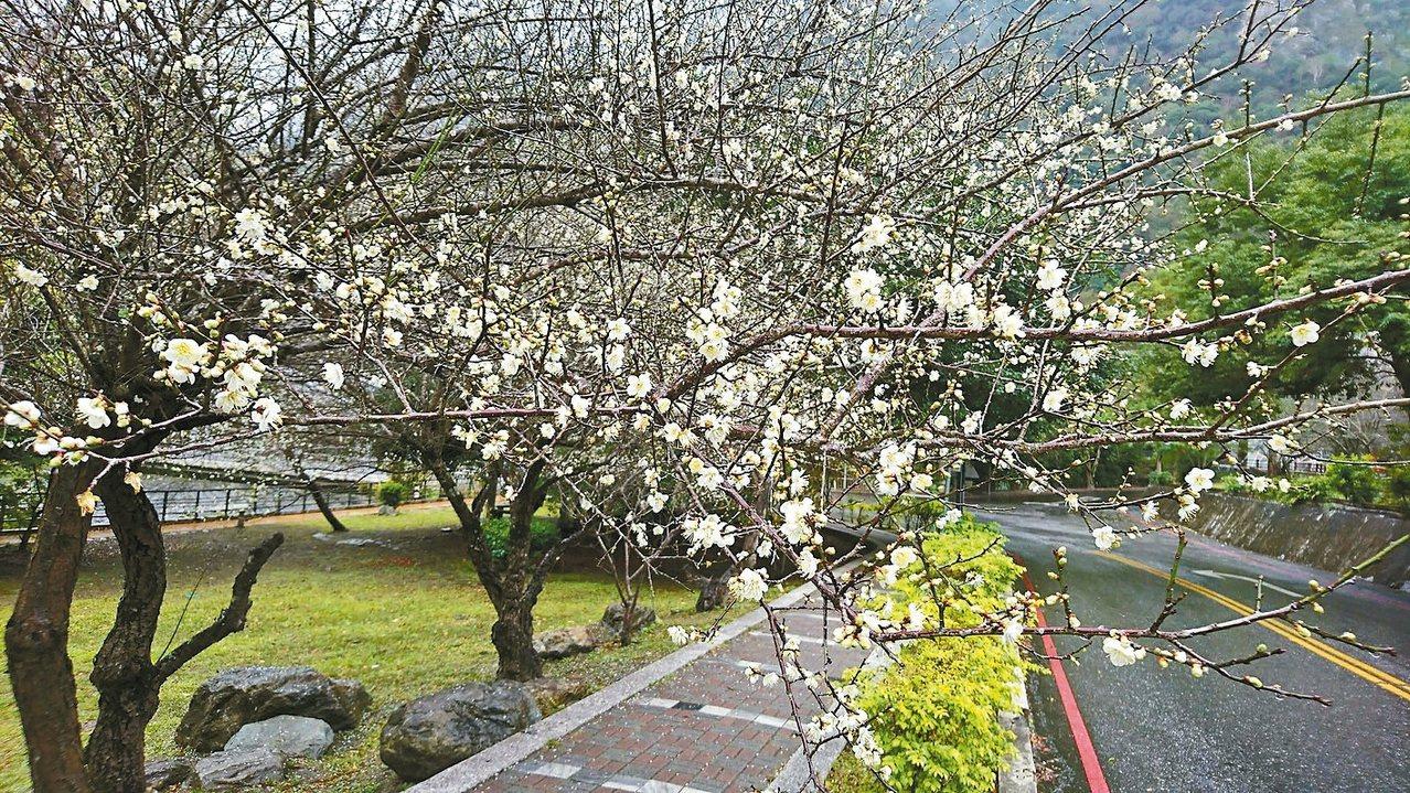 太魯閣天祥的梅花綻放中。 圖/讀者提供
