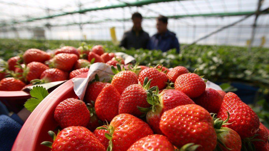▲韓國冬天採草莓。(圖/攝影者:Republic of Korea, Flick...
