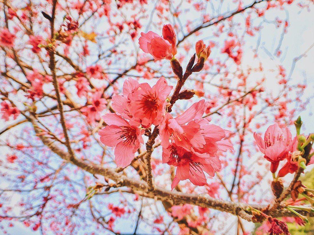 ▲三芝櫻花季。(圖/擷取自網路)