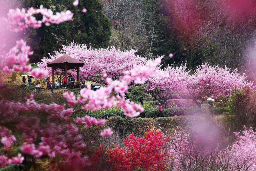 ▲武陵農場櫻花。(圖/攝影者:Jerry Lai, Flickr CC Lice...