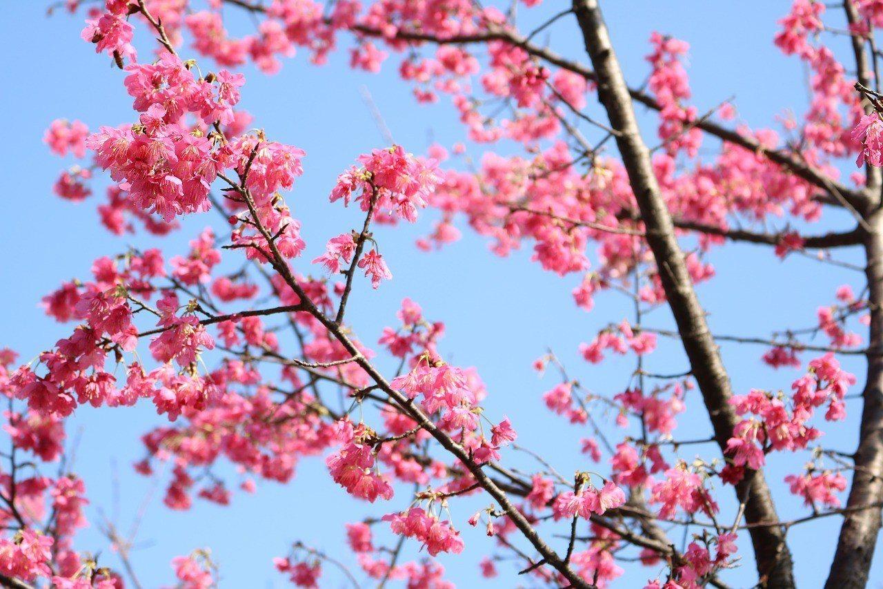▲特富野櫻花。(圖/擷取自網路)