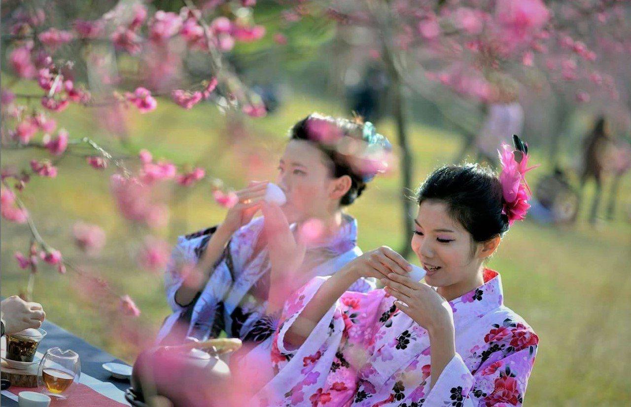▲暨大櫻花季。(圖/張健龍攝)