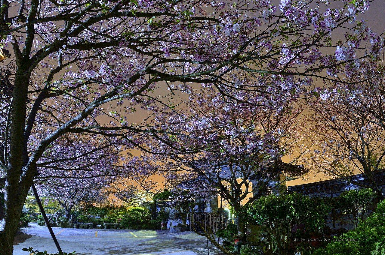 ▲陽明山東方寺夜櫻。(圖/攝影者:Yang Lang 楊朗, Flickr CC...
