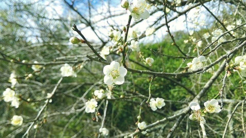 太魯閣國家公園內的梅花已陸續綻放。圖/太魯閣國家公園管理處提供