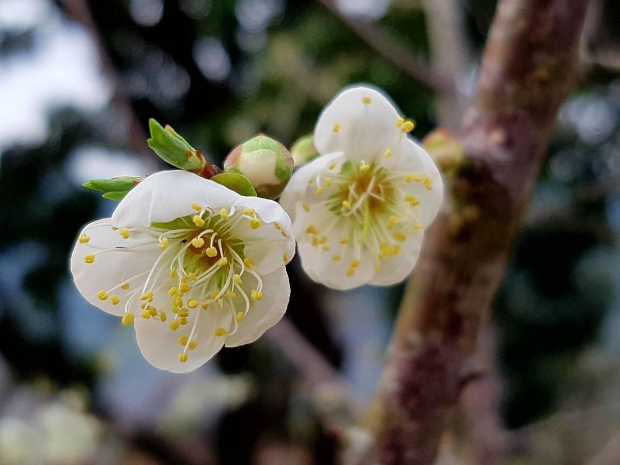 全台最南端的賞梅勝地高雄六龜寶來,目前正是梅花最盛開時期。記者謝梅芬/翻攝