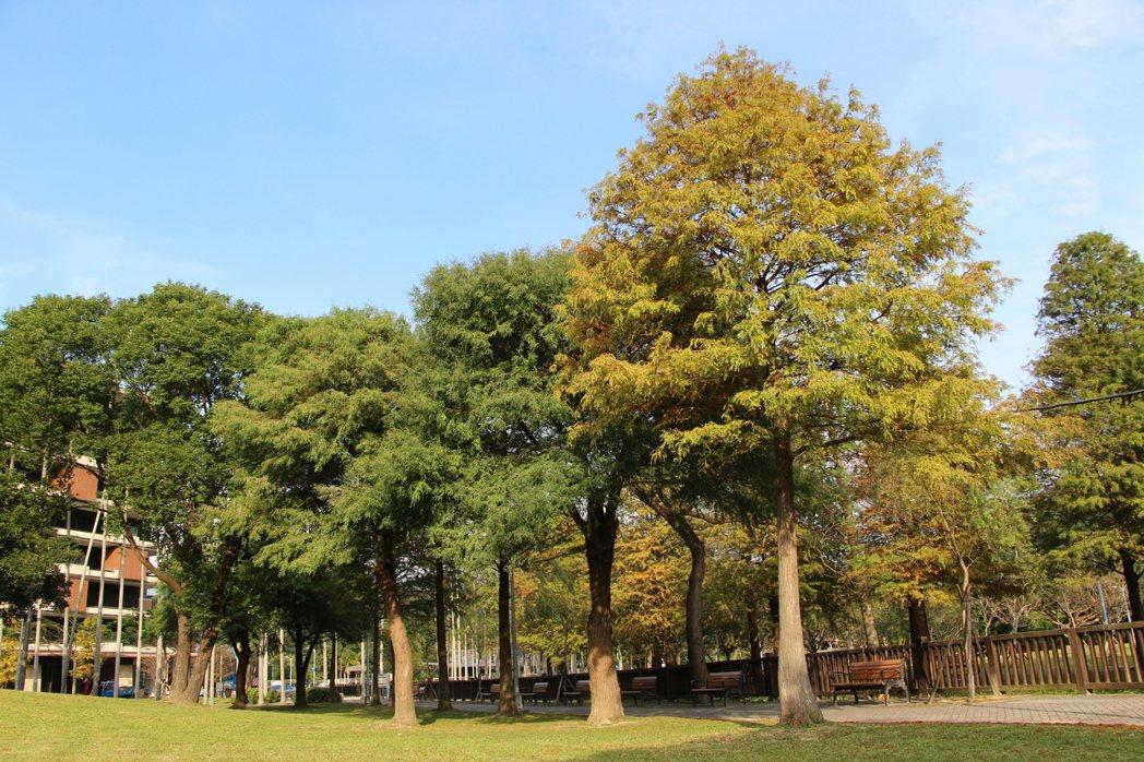 橙色、棕紅、黃色葉片交錯的落羽松群,讓人有置身北歐或韓劇場景感。圖/台北市政府提...