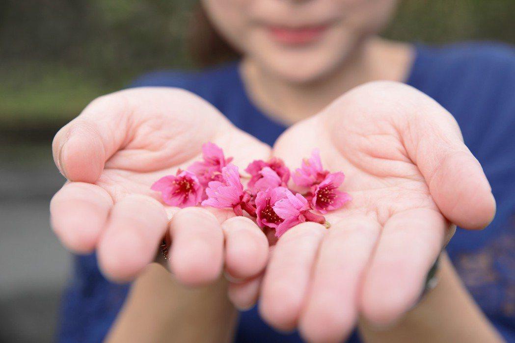 新北市坪林廉政研習中心外的山櫻花提早綻放,是今年第一株盛開的櫻花,景觀處預估其餘...