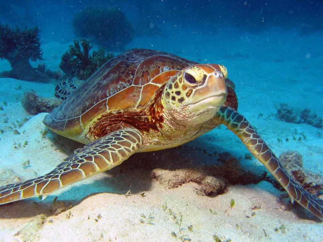 澳洲大堡礁區域溫度上升,新孵綠蠵龜未來恐全數變成雌性。大堡礁旅遊網站