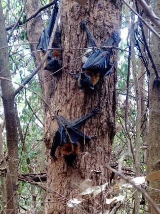 狐蝠死亡後紛紛掉落至地上或卡在樹上。圖擷自FB:Help Save the Wi...