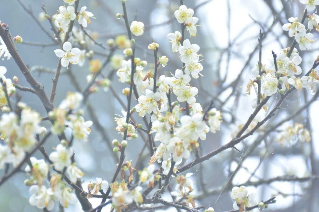台南楠西梅嶺今年各種梅花品種幾乎全數盛開,可說是近10年最美。圖/本報資料照