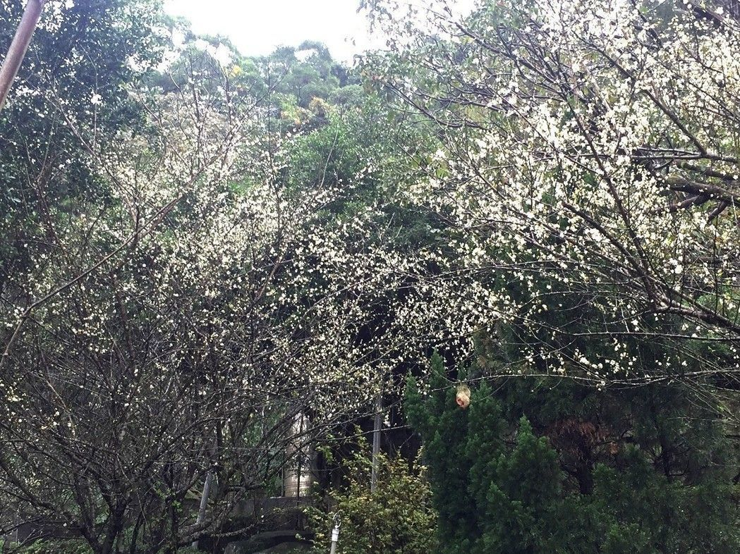 淡水天元宮三聖殿附近梅花樹已開超過7成。圖/觀天下有線電視提供