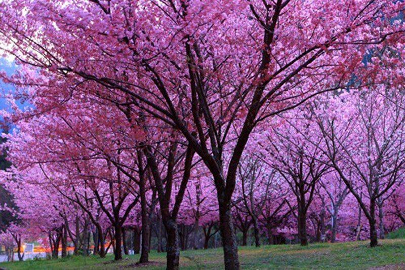 武陵農場紅粉佳人盛開。照片提供/觀光局,吳志學/攝影