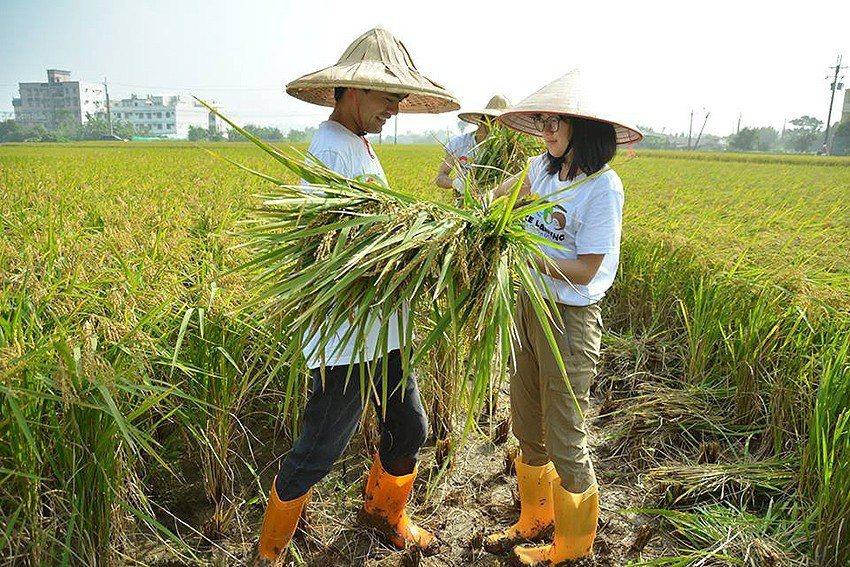 為了更瞭解竹霄社區,中原大學師生親身體驗割稻活動與民眾一起收割。 中原大學/提供