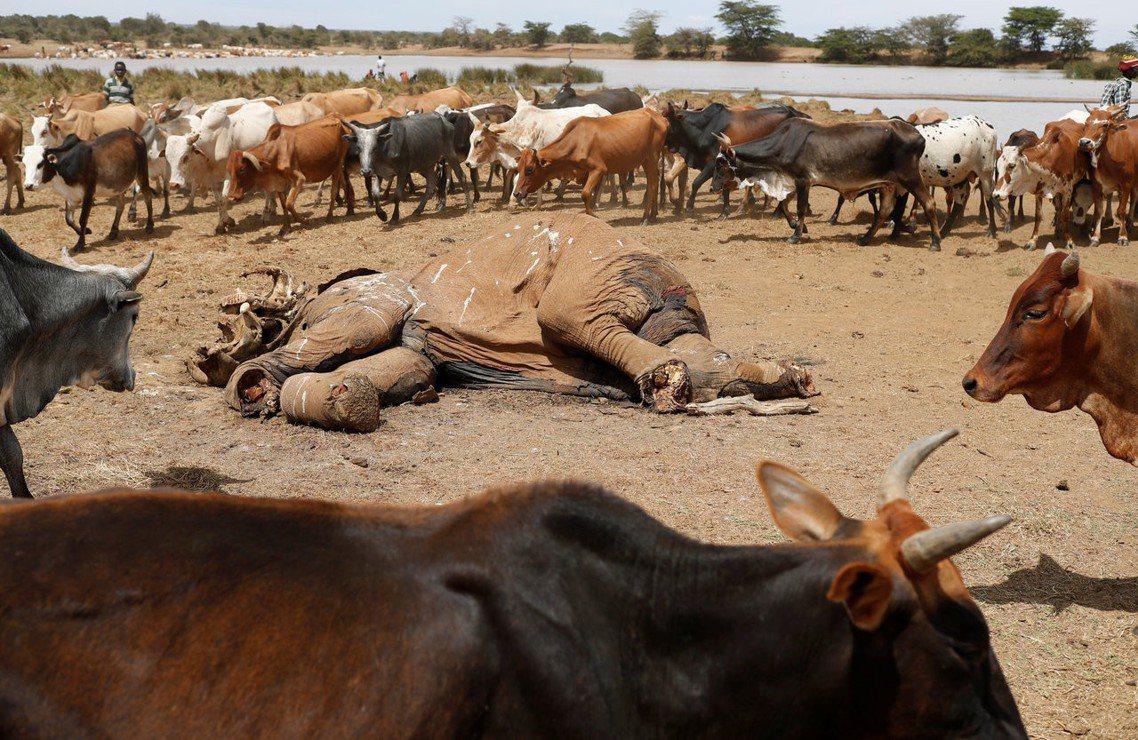 非法盜獵的猖獗,讓坦尚尼亞成為非洲大象數量減少最嚴重的國家。 圖/路透社