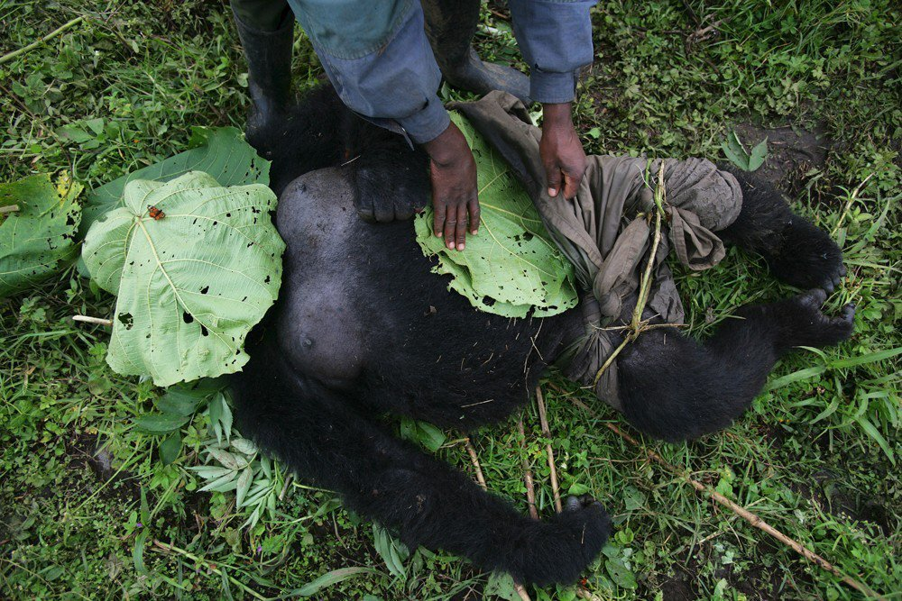 守護大猩猩們的保護區管理員,日漸成為盜獵者跟武裝分子殺害的對象。光是過去三十年間...