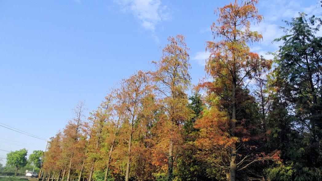 著名台南六甲林鳳營落羽松林,景致大爆發,葉片轉為濃郁深褐色更豔美。記者謝進盛/攝...