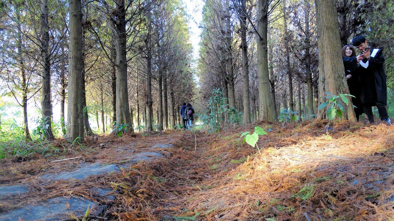 落羽松林下瀰漫北國風情,彷彿置身國外。記者謝進盛/攝影