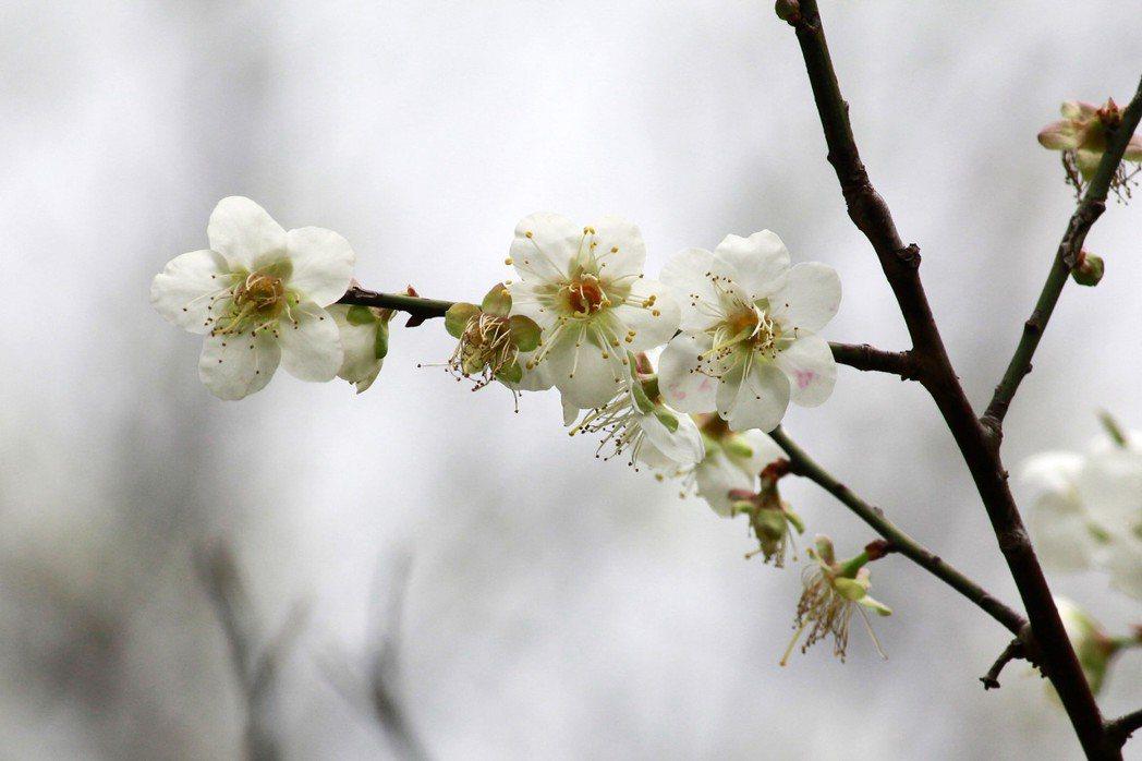 國立清華大學校園內的梅園,今年花朵盛開近八成,花期將持續至過年前。圖/清大提供