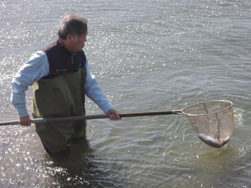 雲林沿海養殖業者把被凍死浮上水面的虱目魚撈起來,擔心未來兩天魚死量會增加。記者蔡...