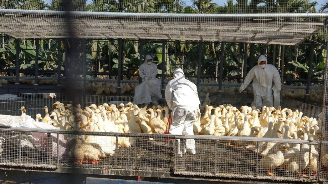屏東再傳禽流感,撲殺39000隻肉鴨。圖/縣府提供