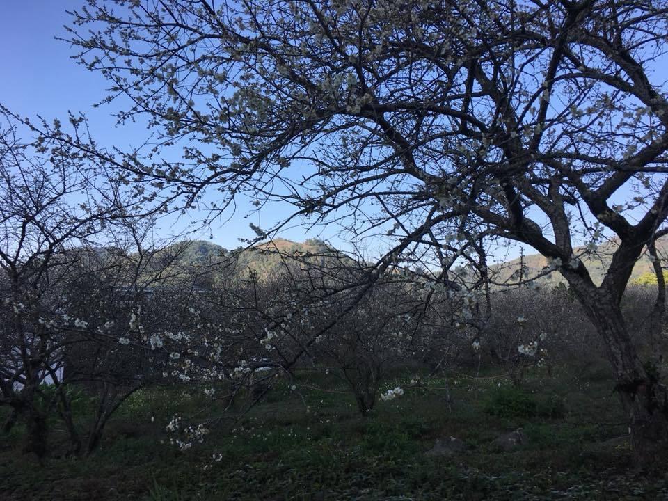 那瑪夏達卡努瓦里部落附近也有大片梅花盛開。圖/讀者鍾源彩提供