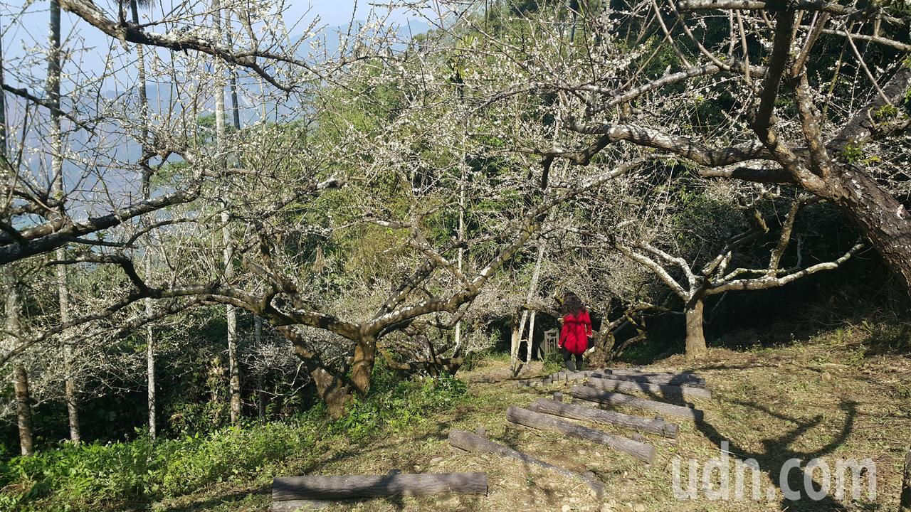 六義山步道內有兩處梅林,目前皆處盛開階段。記者徐白櫻/攝影