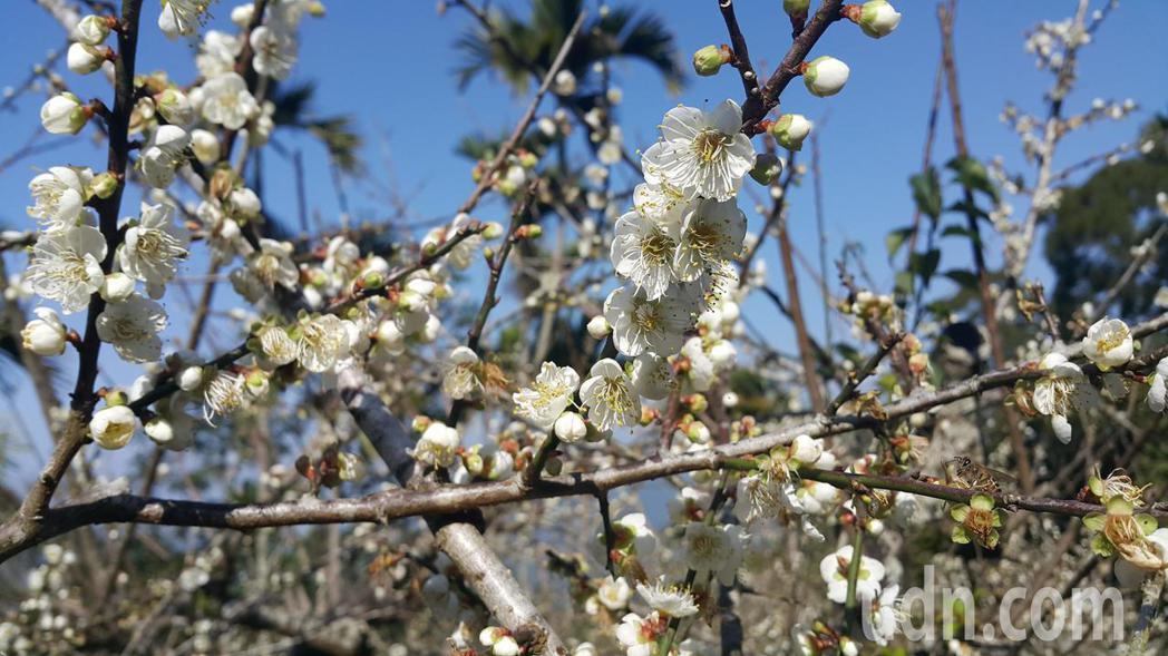 甲仙六義山步道兩旁的梅花盛開。記者徐白櫻/攝影