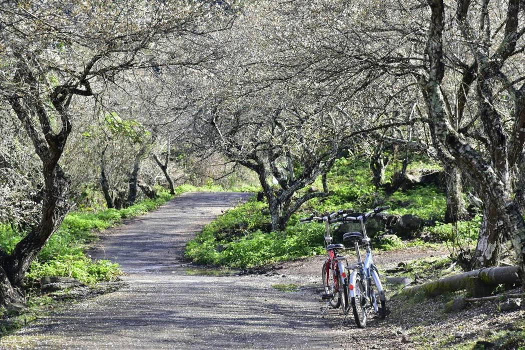 南投縣仁愛鄉梅樹是當地重要產業,入冬梅綻後形成絕美景致。圖/仁愛鄉公所提供