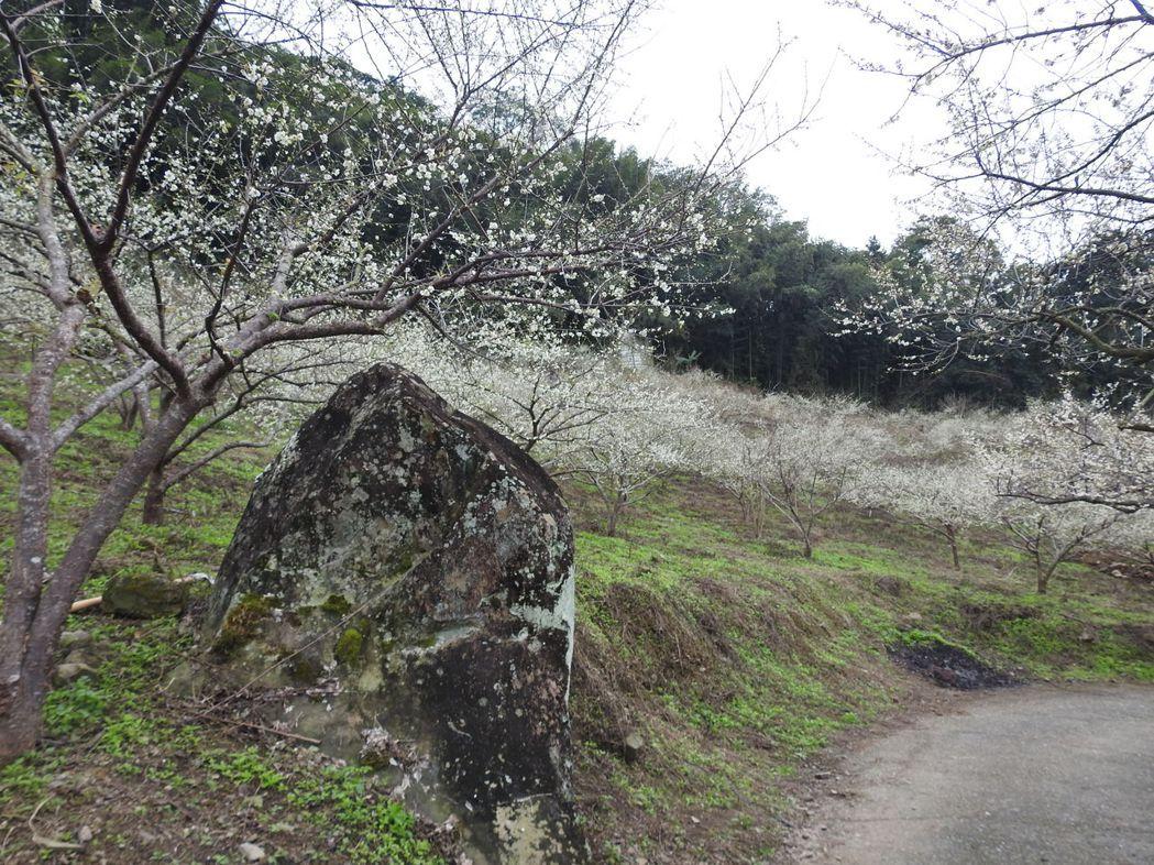 南投縣信義鄉外坪頂賞梅區,可見雪白梅花沿著山坡傾瀉而下,山坡像是被雪花覆蓋一般。...