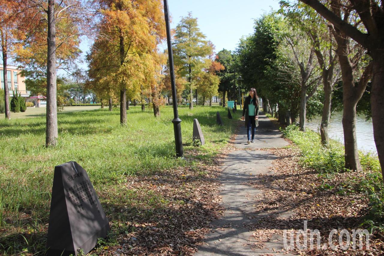 明道大學落羽松紅了,落羽松樹林旁就是講座教授、詩人「蕭蕭」蕭水順的玄思道,走在樹...